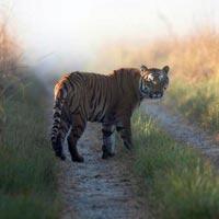 Corbtte Tiger Safari
