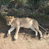 3 Nights Mara Flying Safari at Basecamp Masai Mara and Eagle View Camp Tour