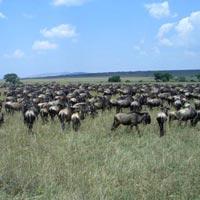 Gnu or Wildebeast
