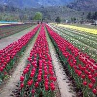 Srinagar - Gulmarg 5 Day Tour