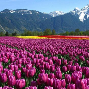 Tulip special - Kashmir Package