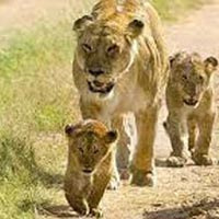 Wildlife with Gir Tour
