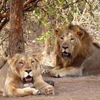 West India Lion Safari Tour