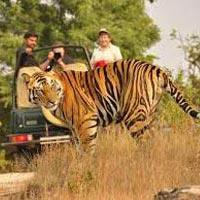 Untamed Tigers Tour