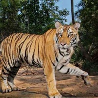 Short Escape to Bandhavgarh Tour