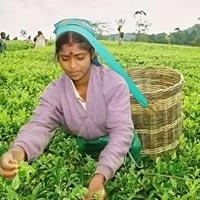 Kandy tea plantation