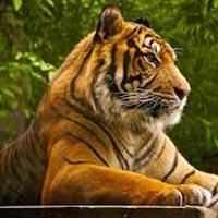 Tiger's Foot Prints Tours