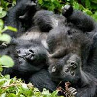 Uganda Gorilla and Chimp Tracking Adventure Tour