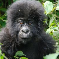 Gorilla Tracking Tour