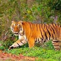 Tiger's Foot Prints Tour
