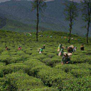 Darjeeling Tea Estate Tour