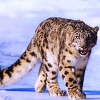Snow Leopard Trek in Ladakh Tour