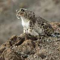Snow Leopard Trek Tour