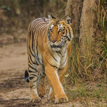 Corbett Wildlife Safari Tour