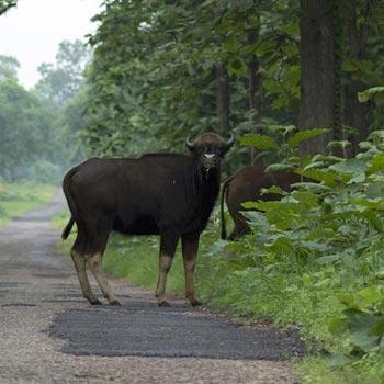 Tadoba Wildlife century Chandrapur