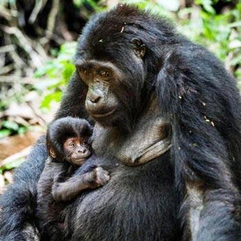 Masai Mara and Uganda Gorilla Trekking Tour