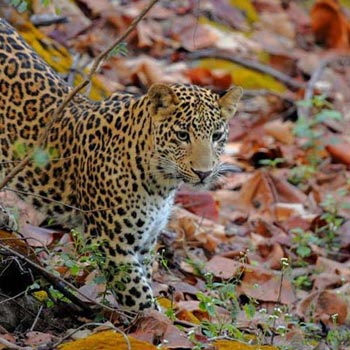 Satpura National Park Wildlife Tour