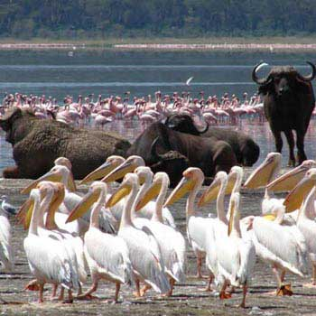 Lake Nakuru & Masai Mara Safari In - 4 Days Tour