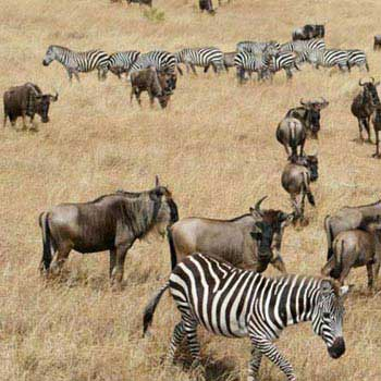 Great Masai Mara Safari In 4 Days Tour
