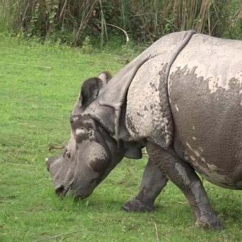 Kaziranga Rhino Safari with Sundarban Tiger Tour