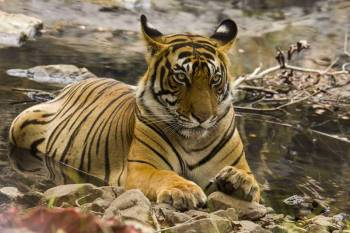 Ranthambore Tiger Safari (explore the Ranthambore National Park) Tour
