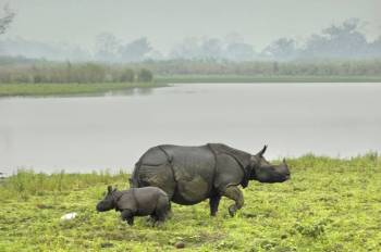 Kaziranga Rhino Safari with Sundarban Tiger ( Highest Rhinoceros Land in the World) Tour
