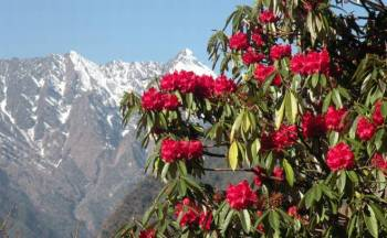 Tour Packages for Pelling- Yuksom- Okhrey (varsey Rhododendron Sentury).