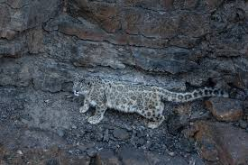 Snow Leopard Trails 11 Days Tour