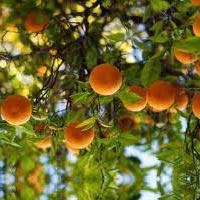 Oranges of Jamui Hills
