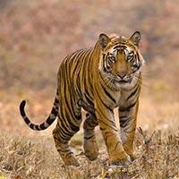 Tiger Trail Tour