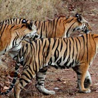 Madhya Pradesh Tiger Tour (6 Nights / 7 Days)