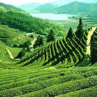 Darjelling tea plantation