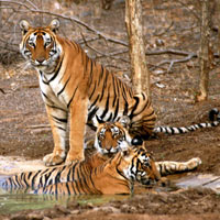 Golden Triangle with Tiger Safari Tour